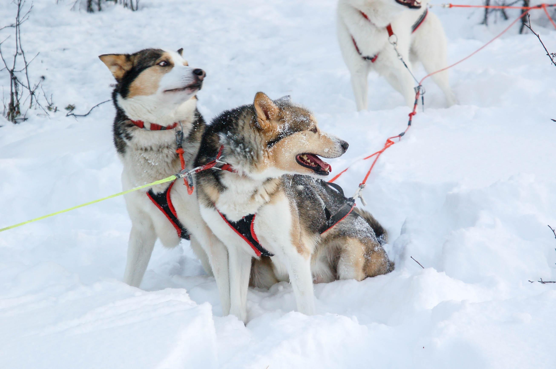 Hundeschlittentour bei Kiruna